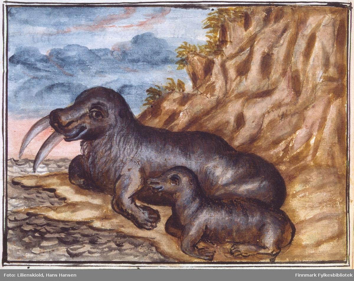 Hvalross med unge, illustrasjon brukt til beskrivelse av dyret Lilienskiold kaller 'rosmaren'