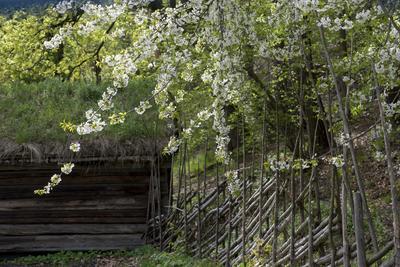 Blomstrende trær, skigard og tømmerbygning i Friluftsmuseet. (Foto/Photo)