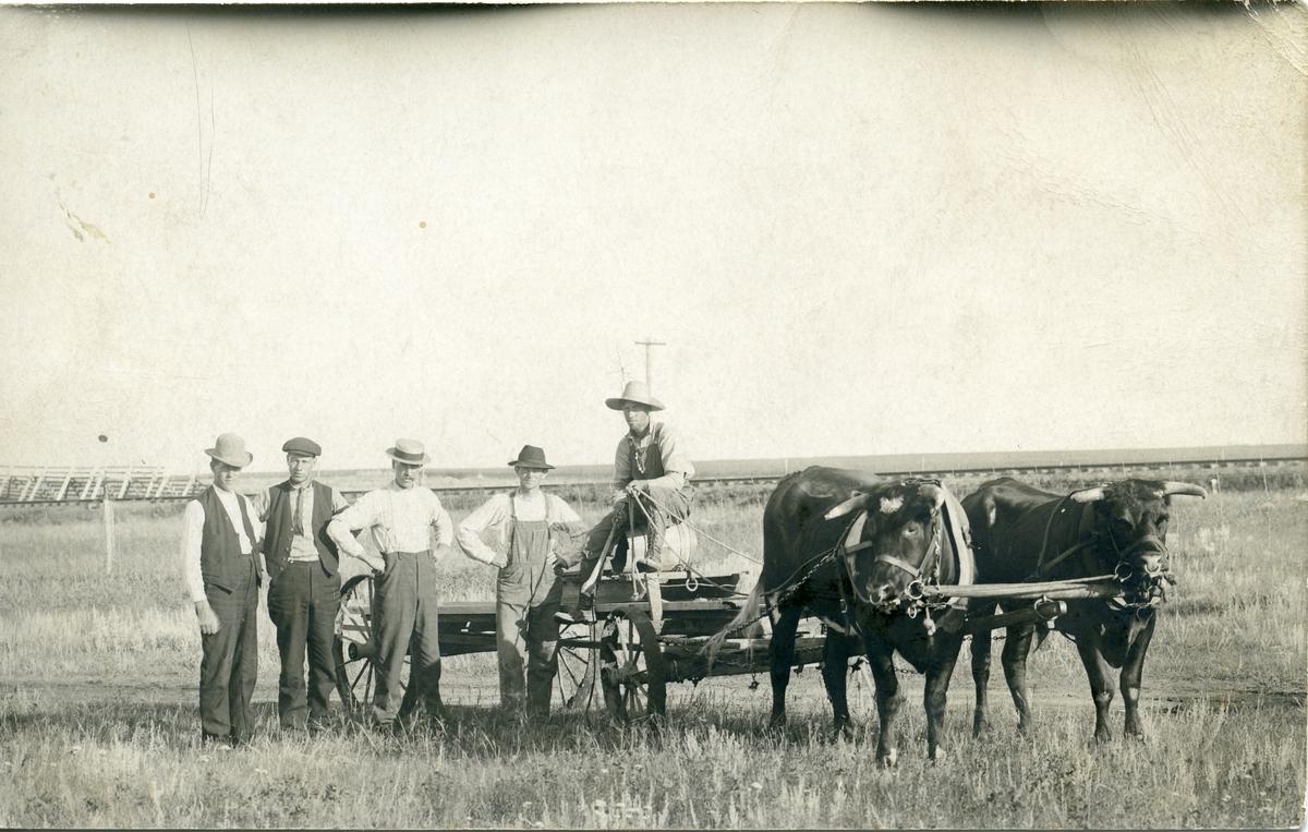 Postkort med motiv av norskamerikanarar som pløyer med oksar på prærien. Jernbanelinja ser ut til å ligge i bakgrunnen. Det er 2 oksar og 5 menn på biletet. Nummer to frå venstre er Thorvald Høneren frå Begnadalen.