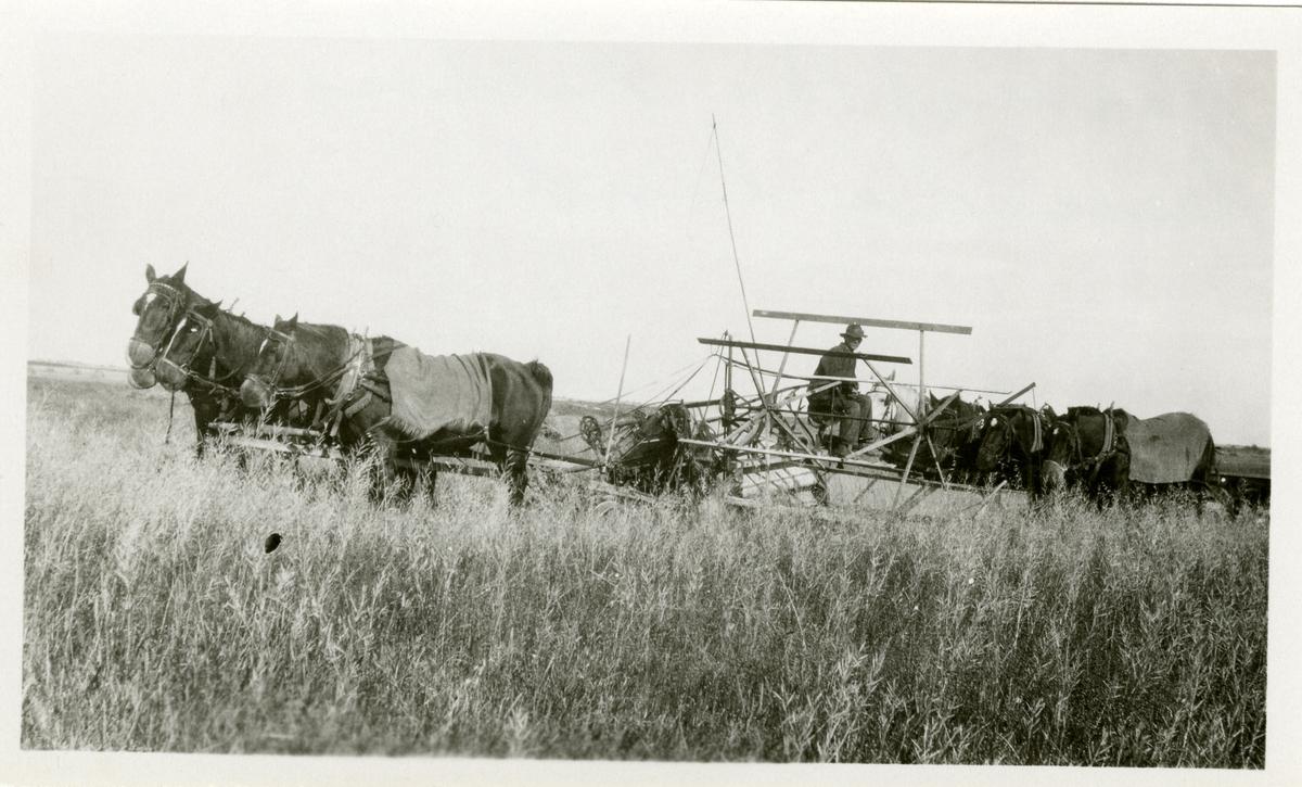Tresking, ca. 1910, på Haldor Knatvold sin farm i Canada.