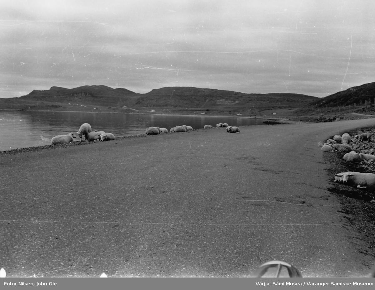 Sauer som slapper av både på og ved veikanten ved Klubben. Per Larsenvik i bakgrunnen. 1967