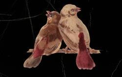 Illustrasjon av to fugler. Fra Nordmøre museums fotosamlinge