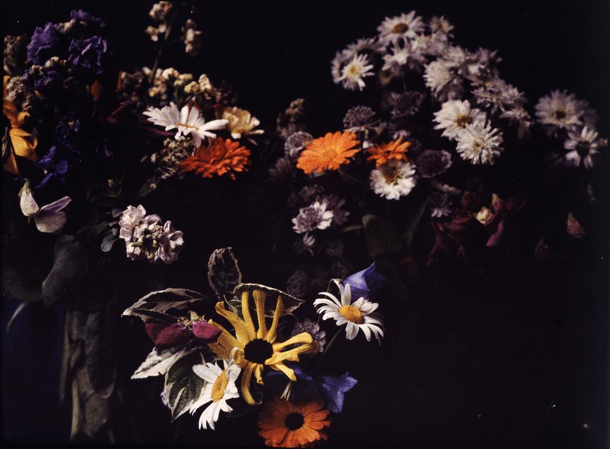 Lumières-autokrom. Stilleben, bild av blommor (Haga trädgårdar) Stockholm.