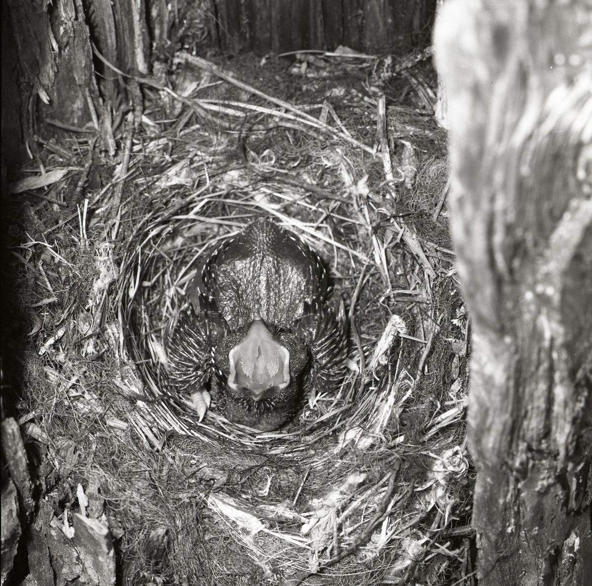 På rygg i fågelboet ligger den sex dygn gamla gökungen och skriker efter mat. Näbben är vidöppen och kroppen har börjat få spolar som ska bli till fjädrar.