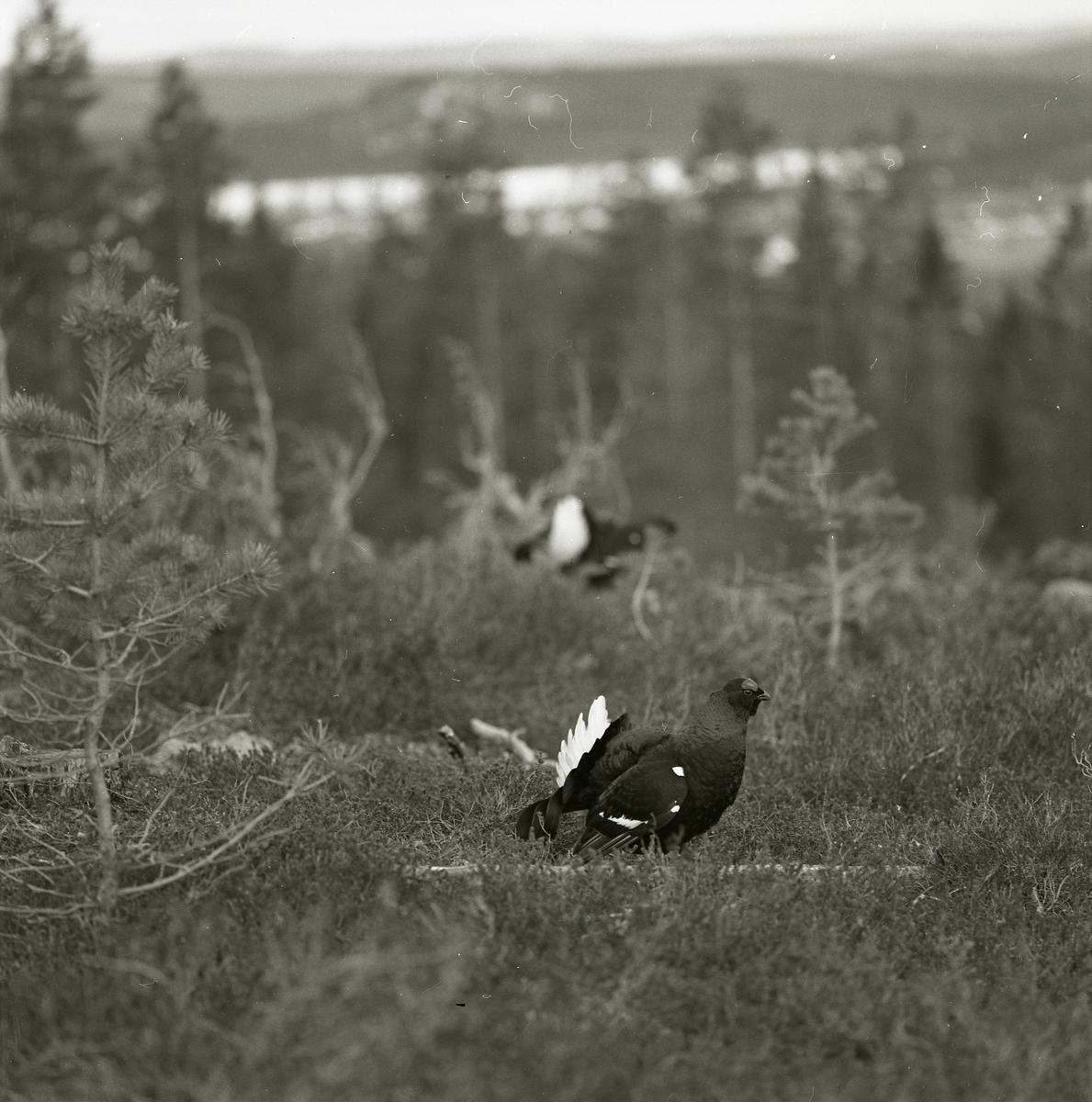 En hälsingsk vy över skogens träd som bryts upp av ett vattendrag har Hilding Mickelsson fotat 1972. Bildens huvudsakliga motiv finns i förgrunden där två orrar vandrar omkring bland ljung och ris.