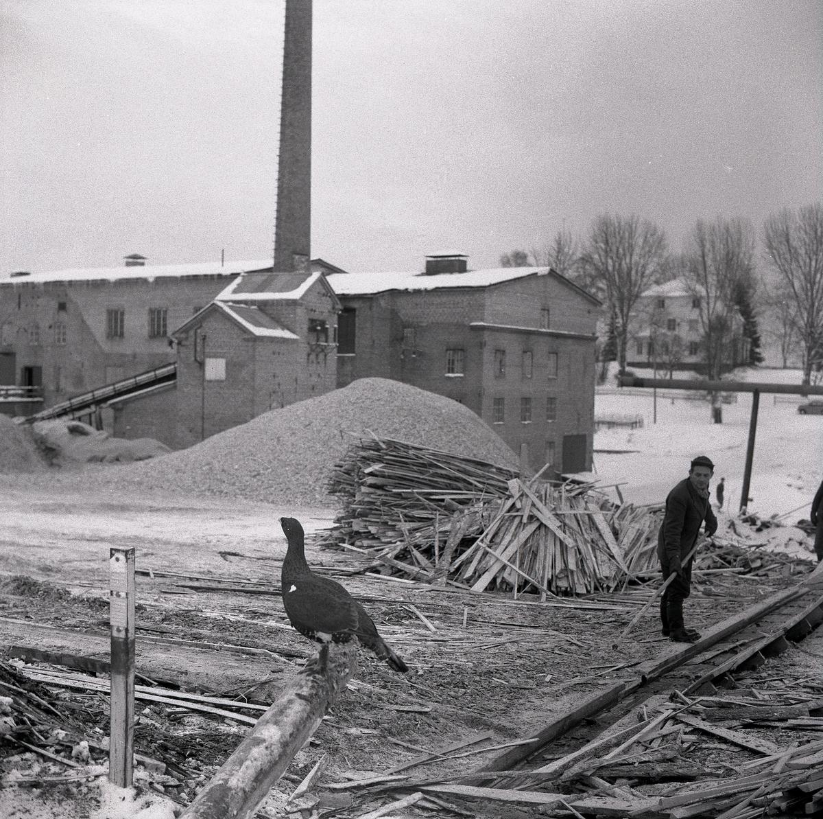 """Utanför en fabrik som tillverkar masonit i Midnäs sitter en tjäder """"toktjädern"""" kallad på en avbarkad stock. Runt om fågeln ligger småflis utspridd och brädhögar uppstaplade. En man bakom tjädern sträcker en lång pinne mot fågeln. Bakgrunden fylls till stor del av fabriksbyggnaden, spånhögar och en lång skorsten som sträcker sig ur bilden."""