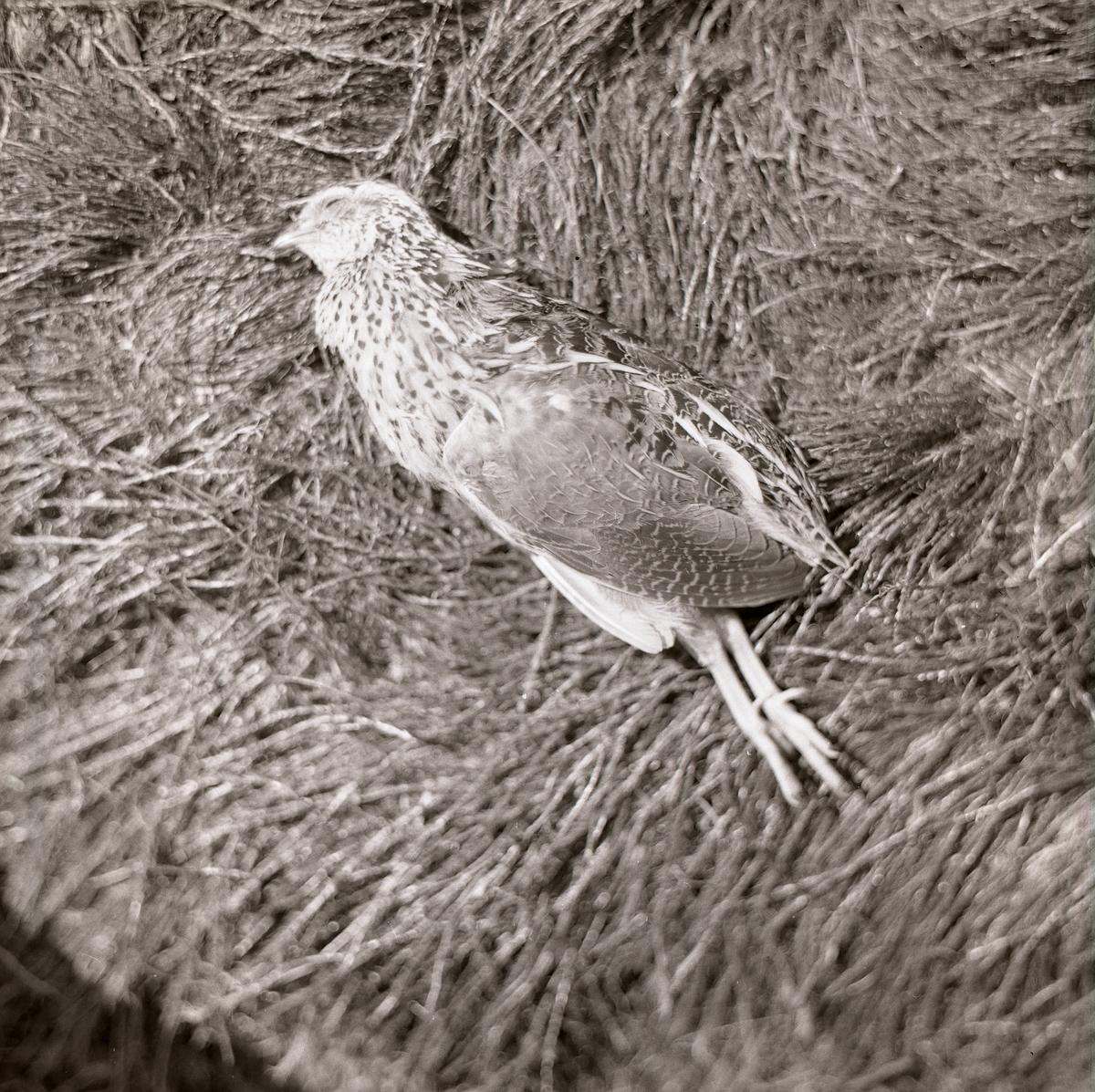 Stilla ligger den döda vakteln i gräset. Nedlagd på sidan utstrålar den frid och lugn fastän benen pekar rakt ned. I anslutning till bilden har Mickelsson skrivit att fågeln fallit offer för telefonledningen 1972.