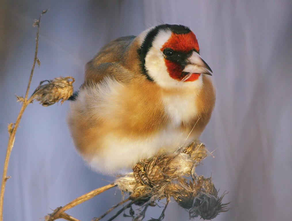 Stillits er en fugl med flotte farger - rød rundt nebbet, hvit og varmbrun kropp og vinger med tydelige gule vingebånd.