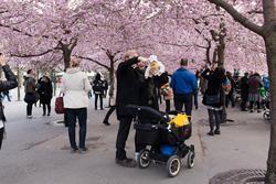 Körsbärsträden blommar i Kungsträdgården