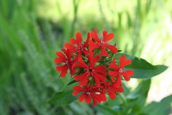 Brennende kjærlighet/Lychnis chalcedonica. Foto/Photo