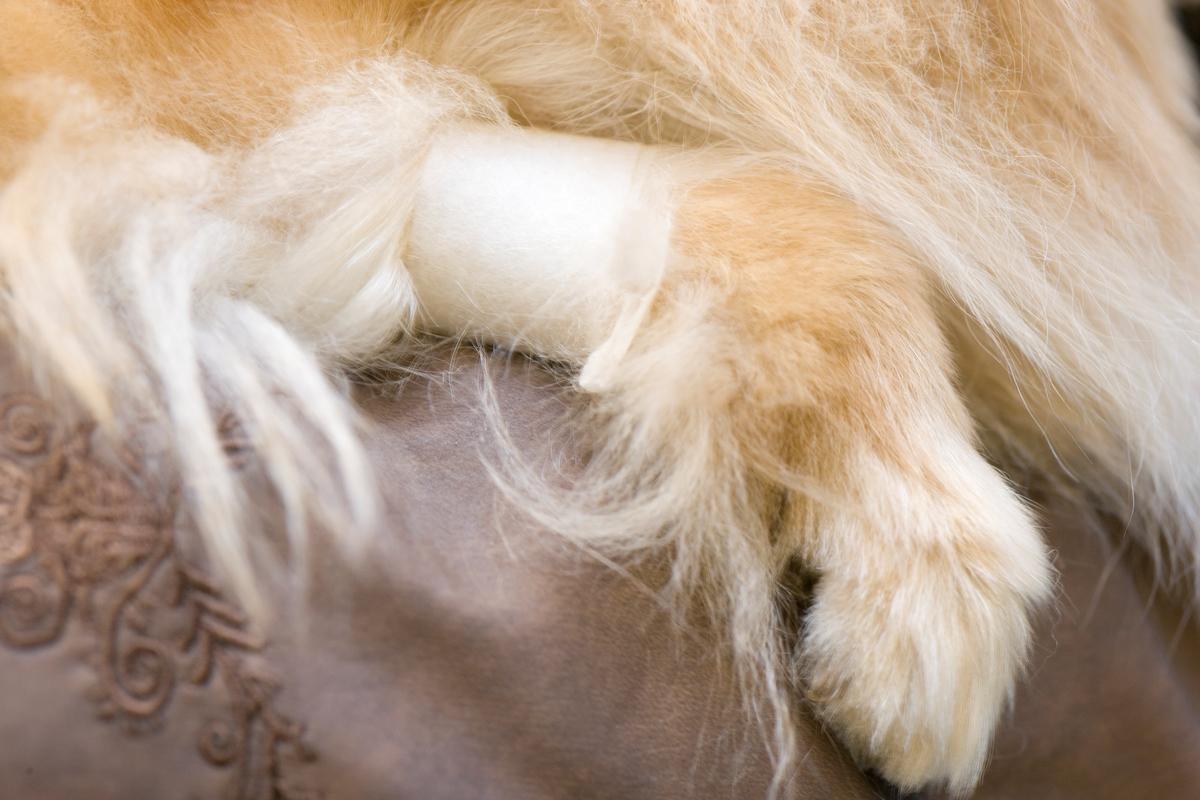 Hund hos veterinær. En hund av rasen pomeranian har fått bandasje på lappen.