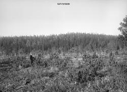 Småfuru - antakelig såkalt «bergfuru» (Pinus montana) - ved