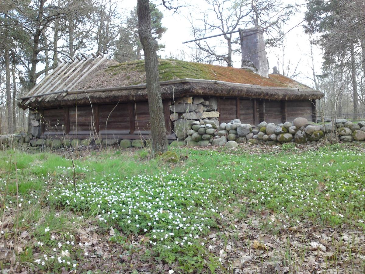 Vitsippor i skogsdungen bakom Hornborgastugan.