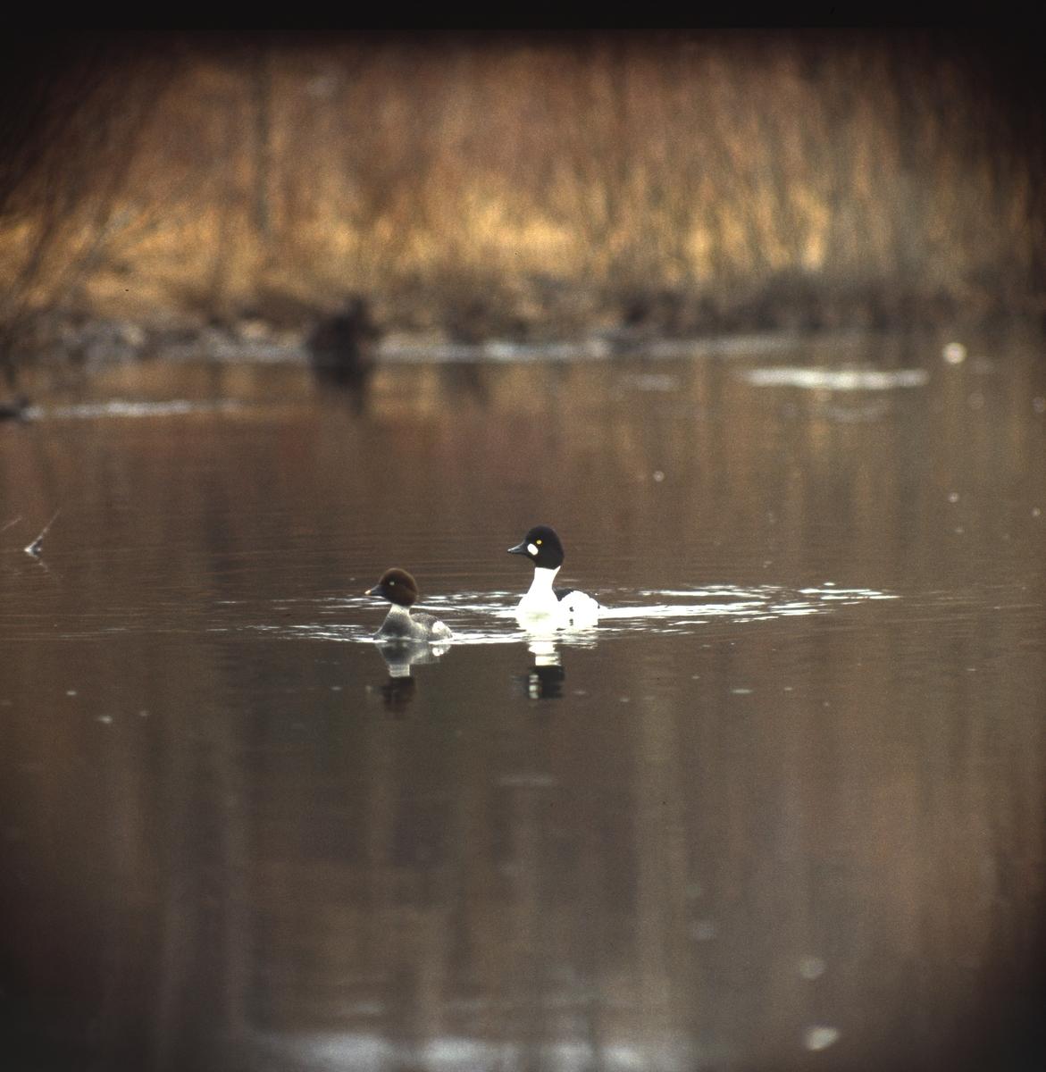 Sjöfågel simmar i vattendrag.