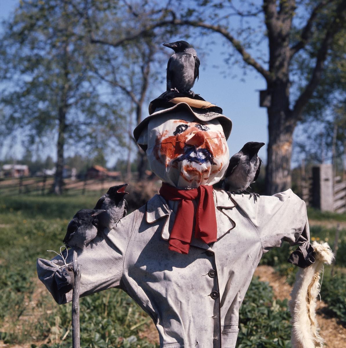 En flock kråkor sitter på en fågelskrämmas hatt och armar.