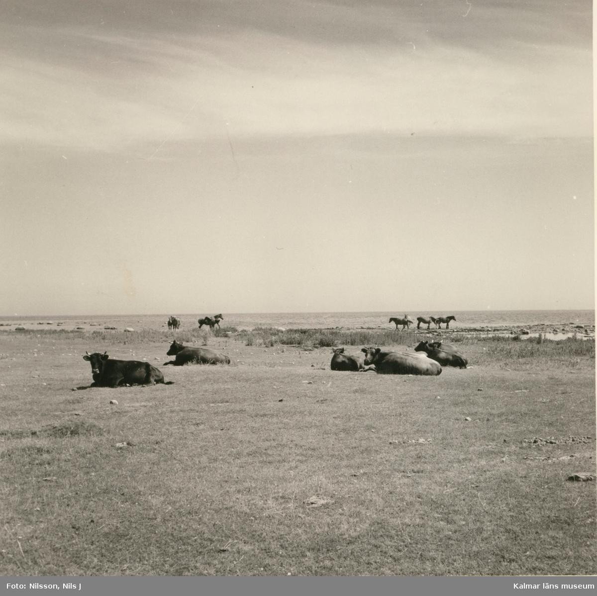 Kor på strand vid Stenbe fiskeläge.