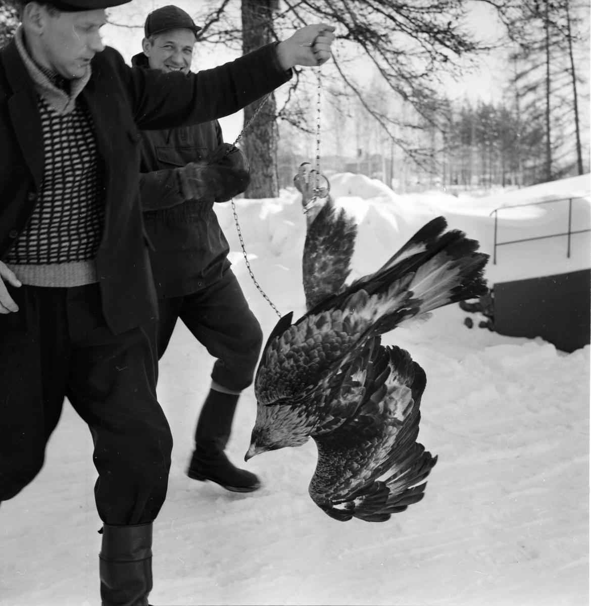 Hellbo. Kungsörn till Boda fågelstation. 14/5-1966