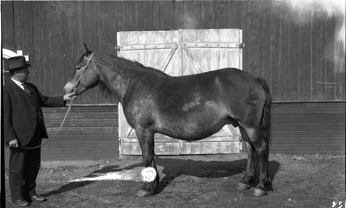 Mann mønstrer hest. Mannen kan muligens være Ole Gunnerød.