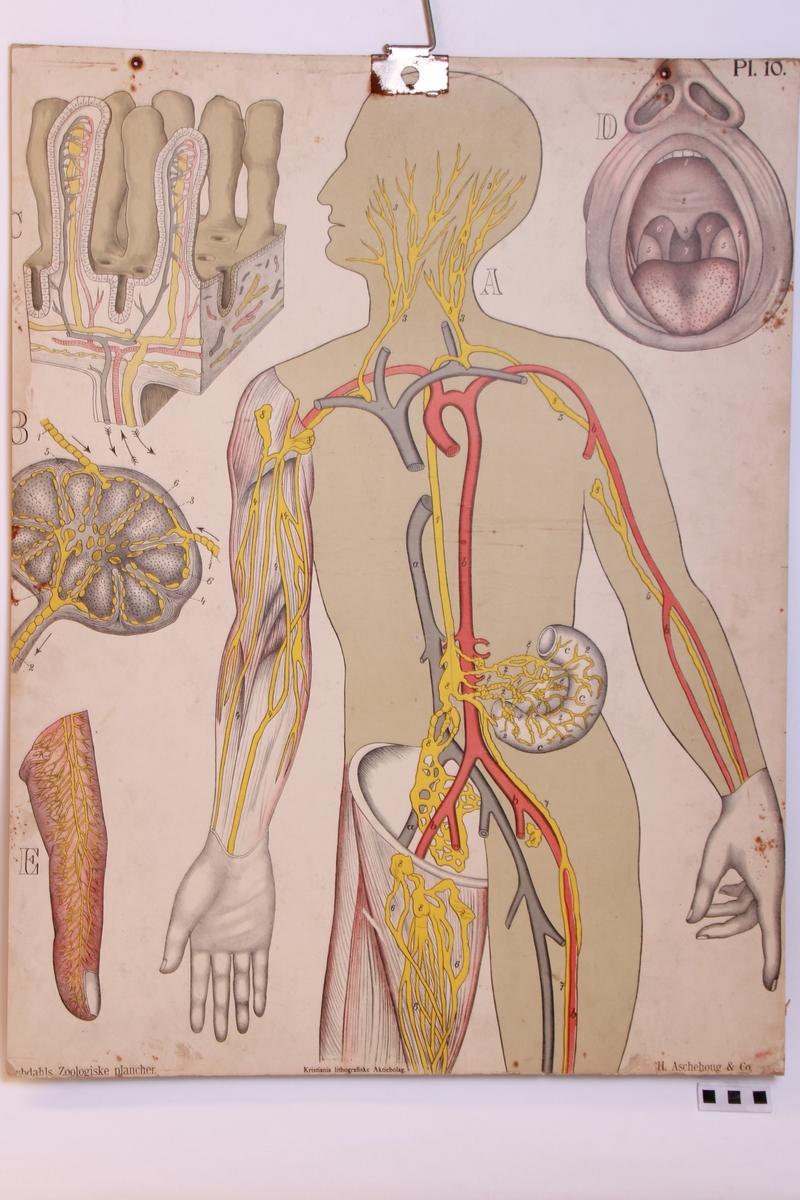 Menneskets anatomi.