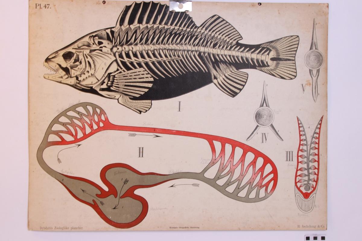Fiskens anatomi.