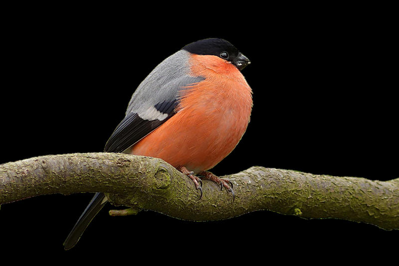 bullfinch-2450919_1920.png