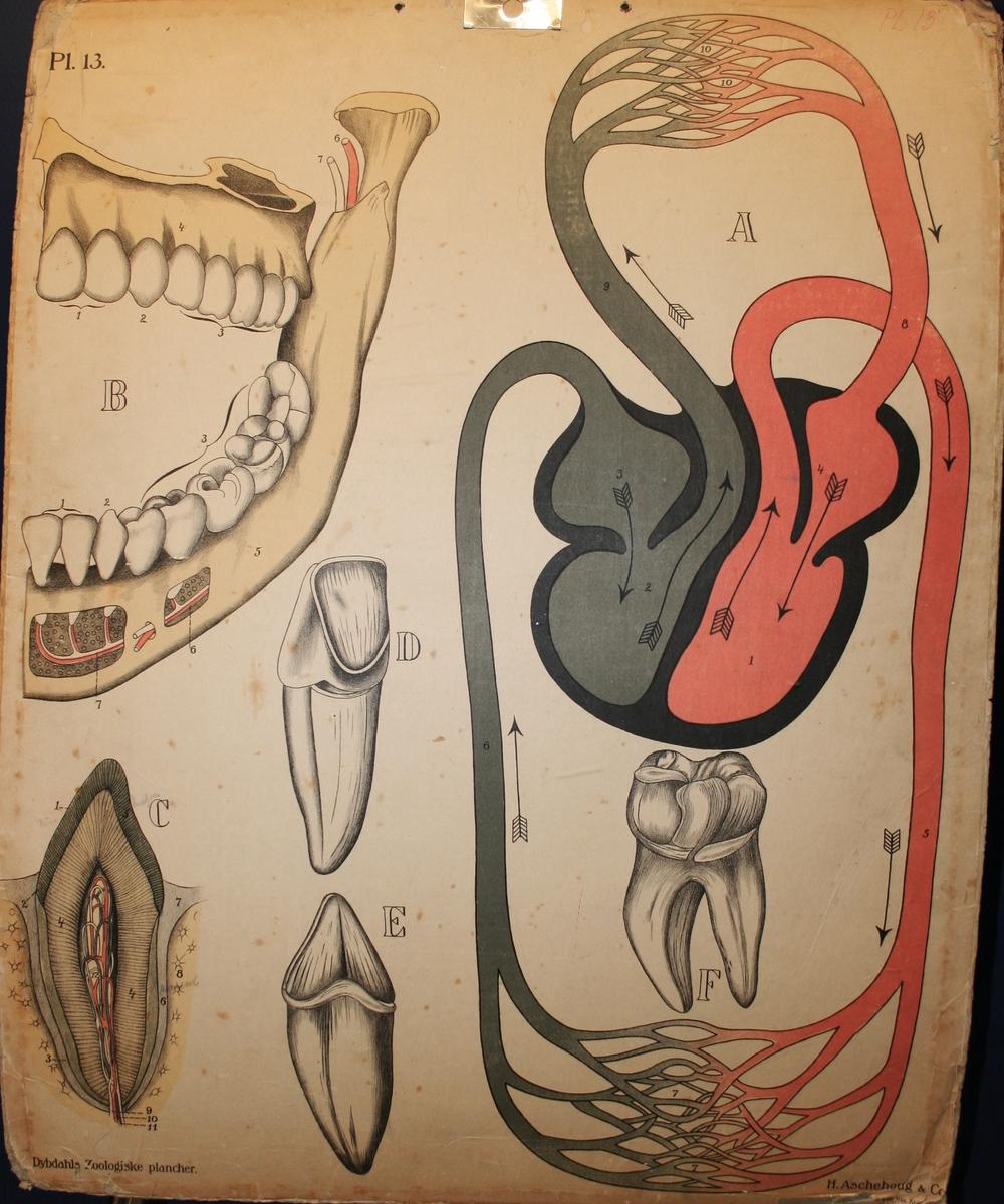 Blodgjennomstrøyming i tanna.
