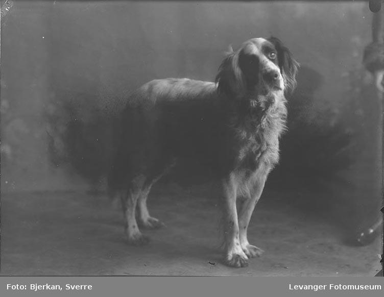 Portrett av Nordenborgs hund