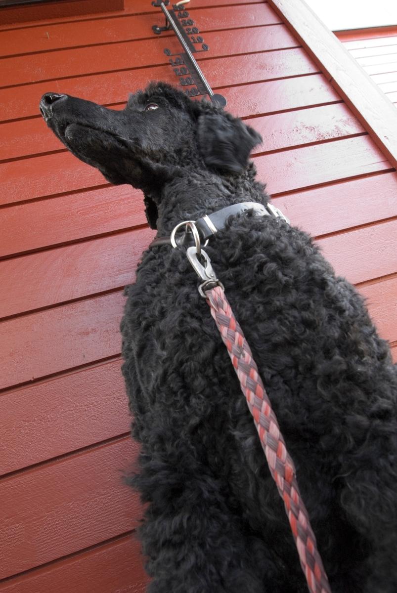 Hunden Pedro med halsbånd og hundeline.