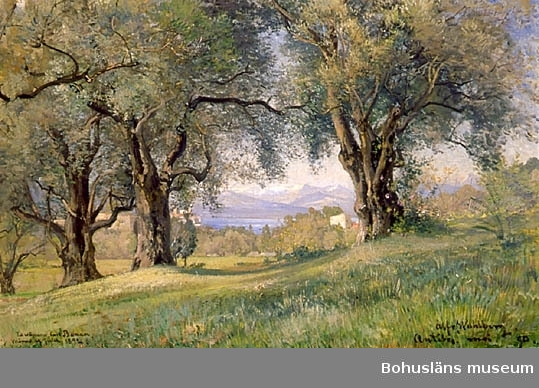 Olivträd på landsbygden i Antibes, Frankrike