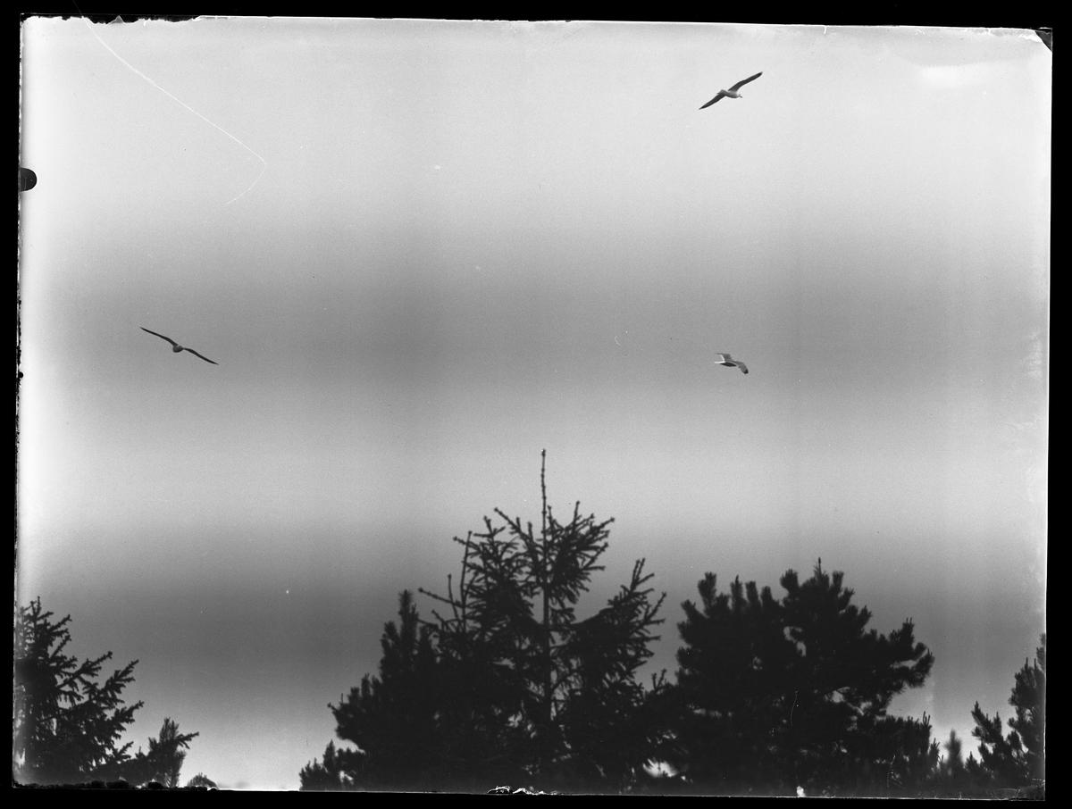 Tre måsar flyger över barrträdtoppar.