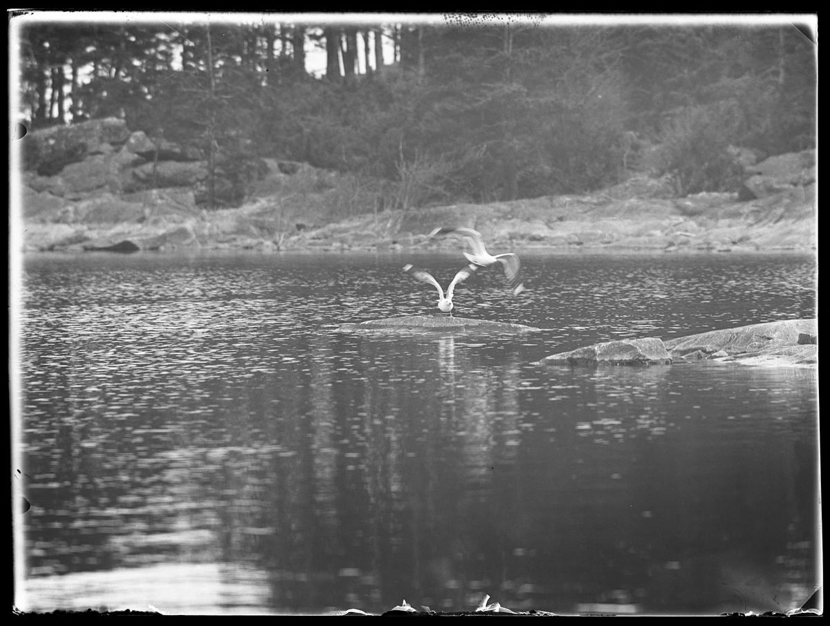 Två måsar fotograferad vid en sjö.