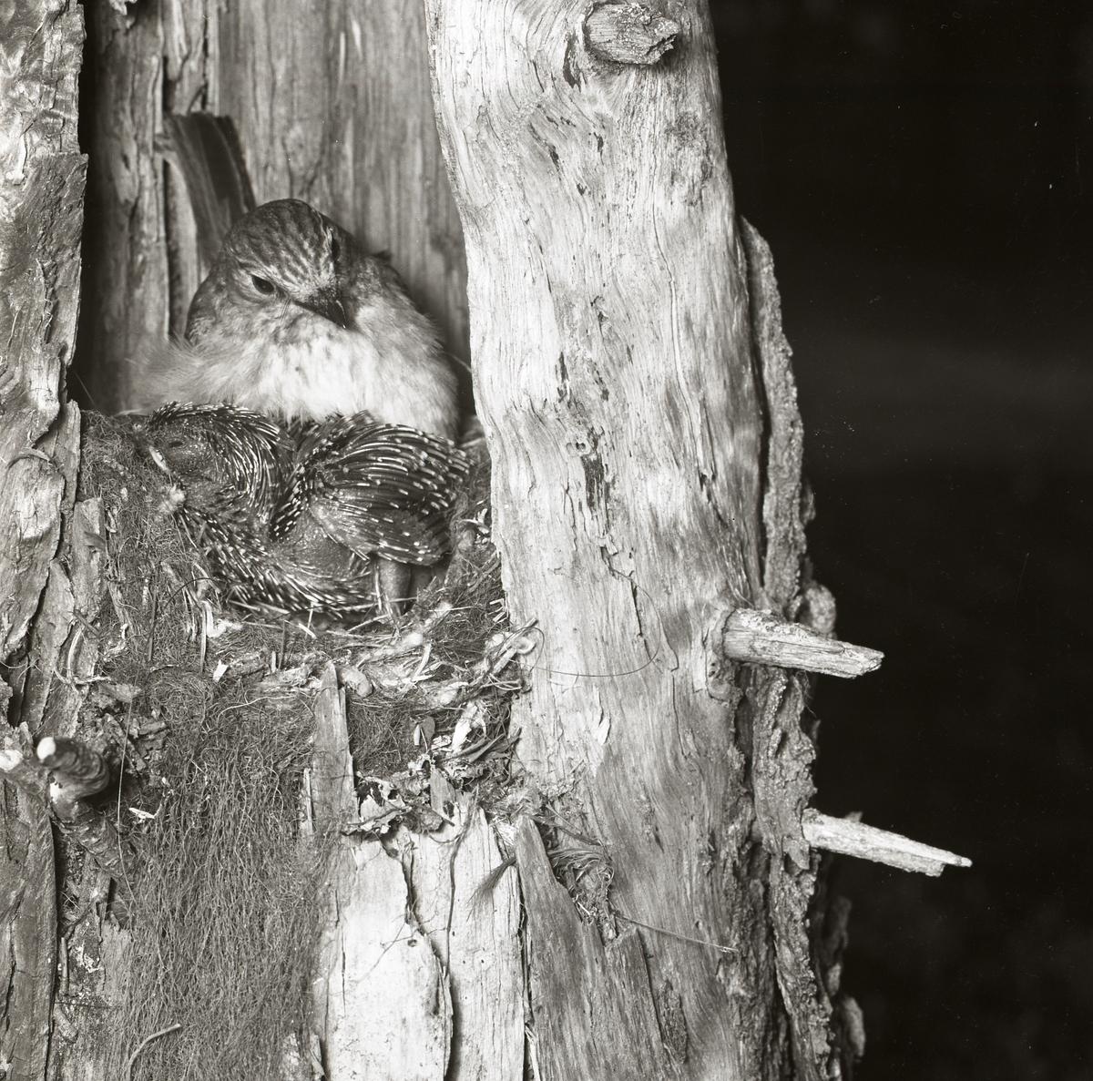 En gökunge blir matad och uppvärmd av fågelmamman våren 1961.