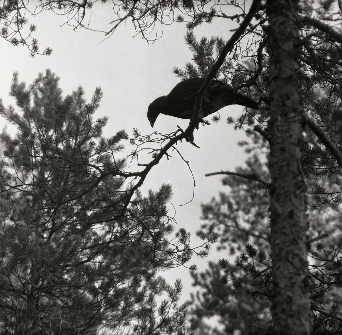 En tjäder sitter på en tallgren i en skog 22 oktober 1957.