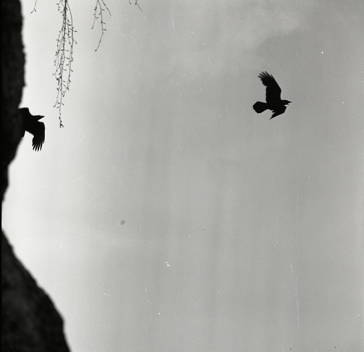 Två flygande korpar framför en klippa med nedhängade kvist, maj 1962.