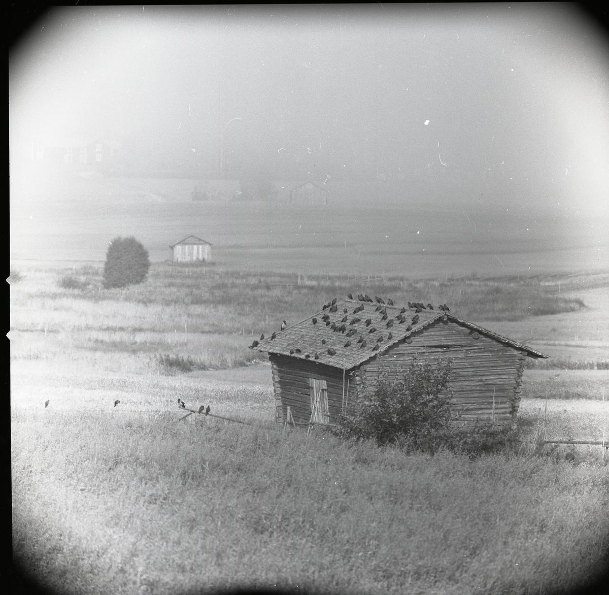 Ett stort antal kajor och kråkor sitter på ett ladutak i Glössbo i augusti 1957.