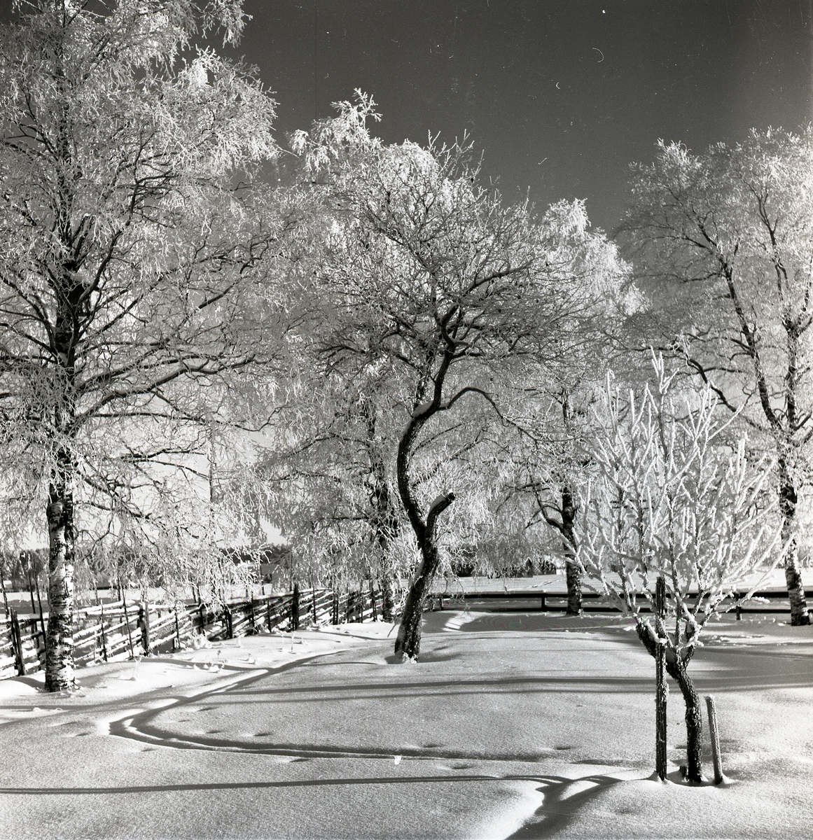Trädgård med äppelträd i rimfrost och snö, i januari 1953.