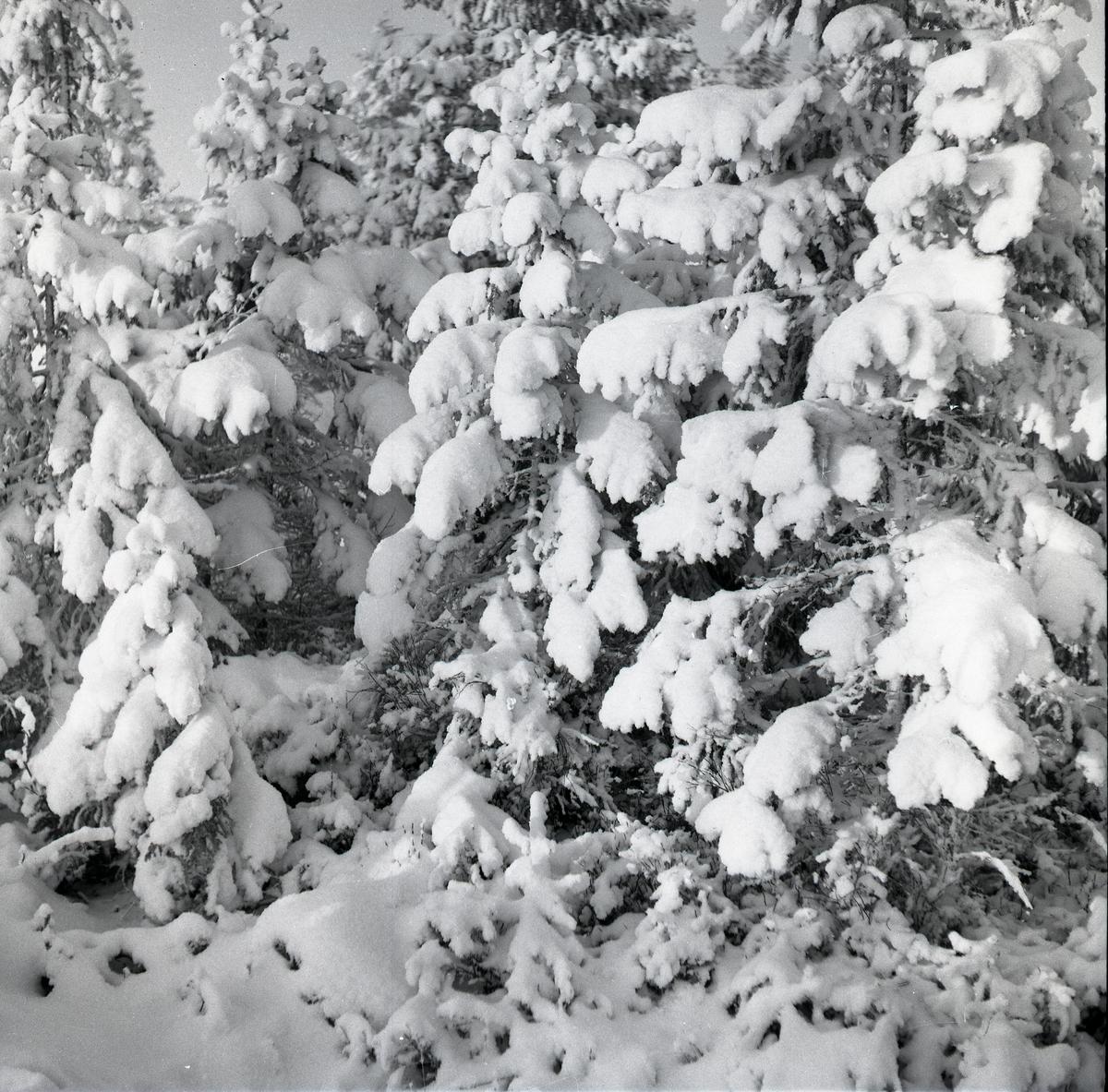 Snötyngda granar i närbild, julen 1954.