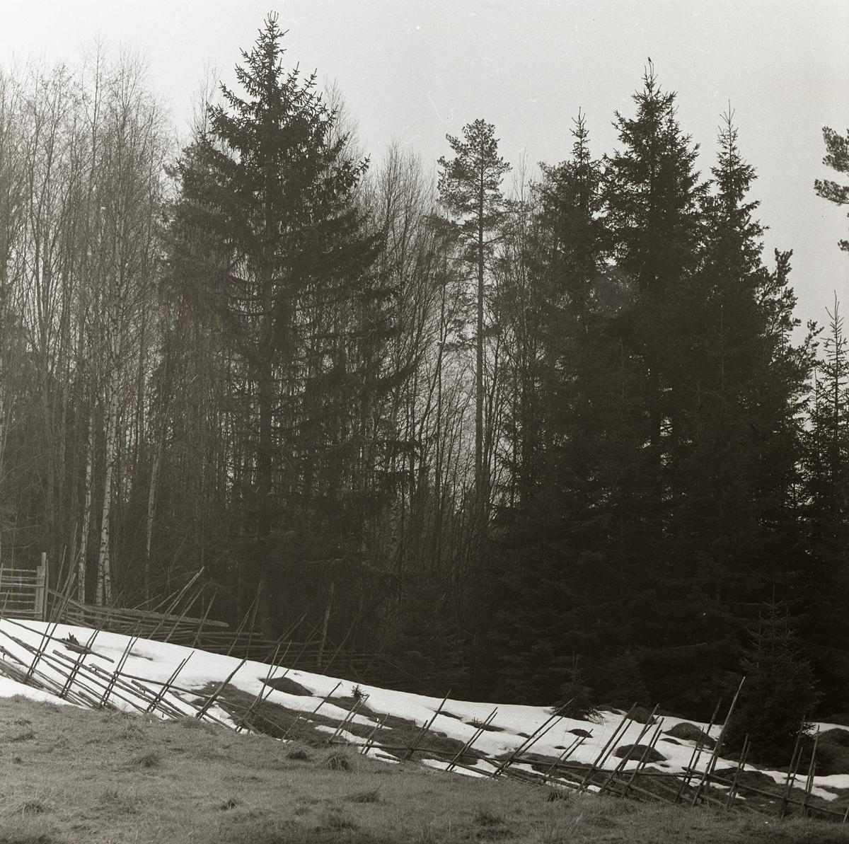 Bakom en gärdesgård sitter en taltrast i toppen av ett träd, 1 maj 1959.