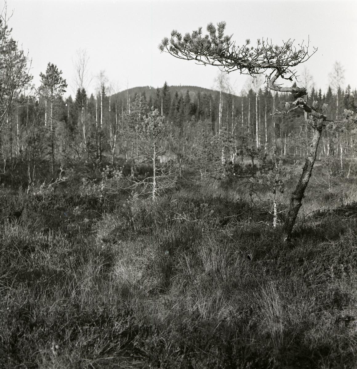 Tallar på en myr intill Höleån, oktober 1964.