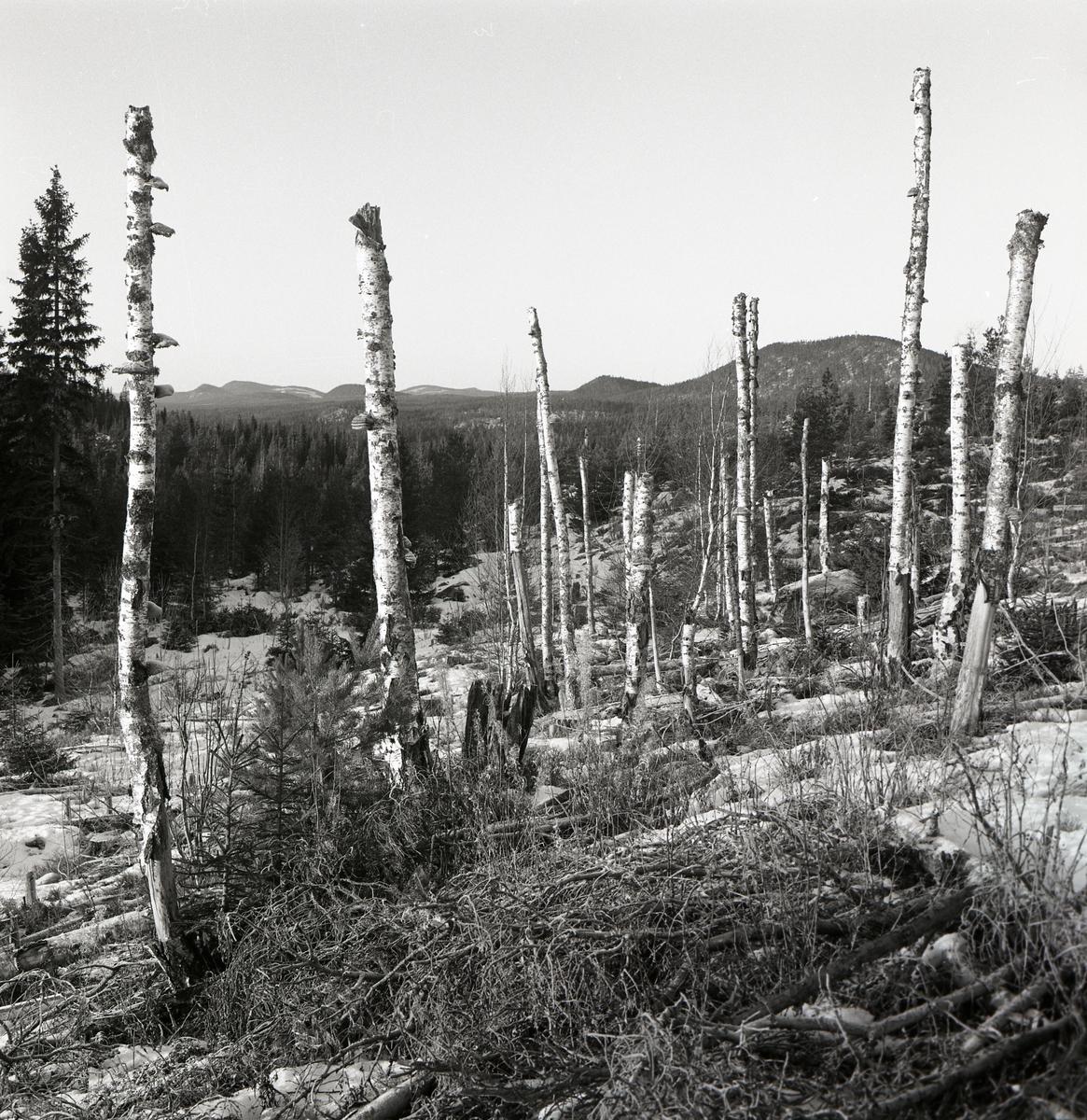"""Avbrutna och döda björkar på Grängberget bildar ett """"monument"""" enligt Hilding Mickelsson, 1972."""