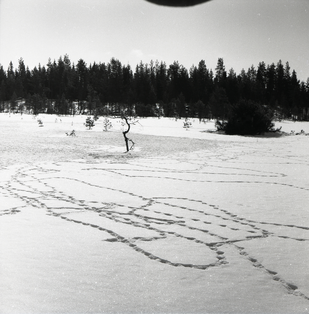 Orrspår i snön vid Degeln den 10 april 1955.