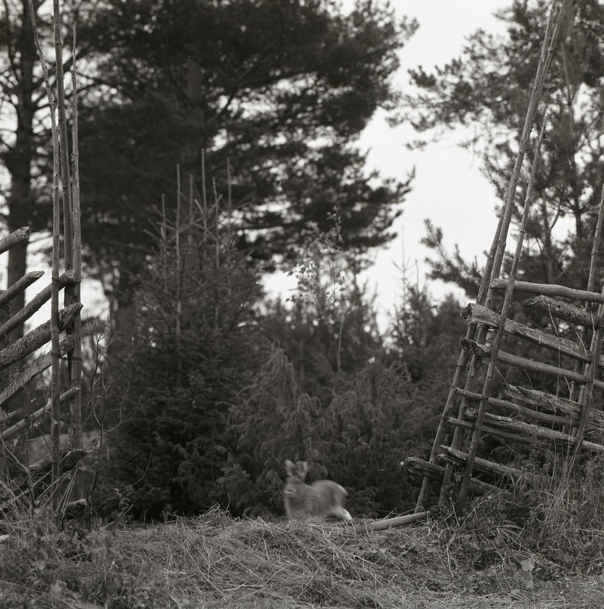 En hare skuttar genom en gärdesgårdsöppning på Storön, 6 oktober 1957.