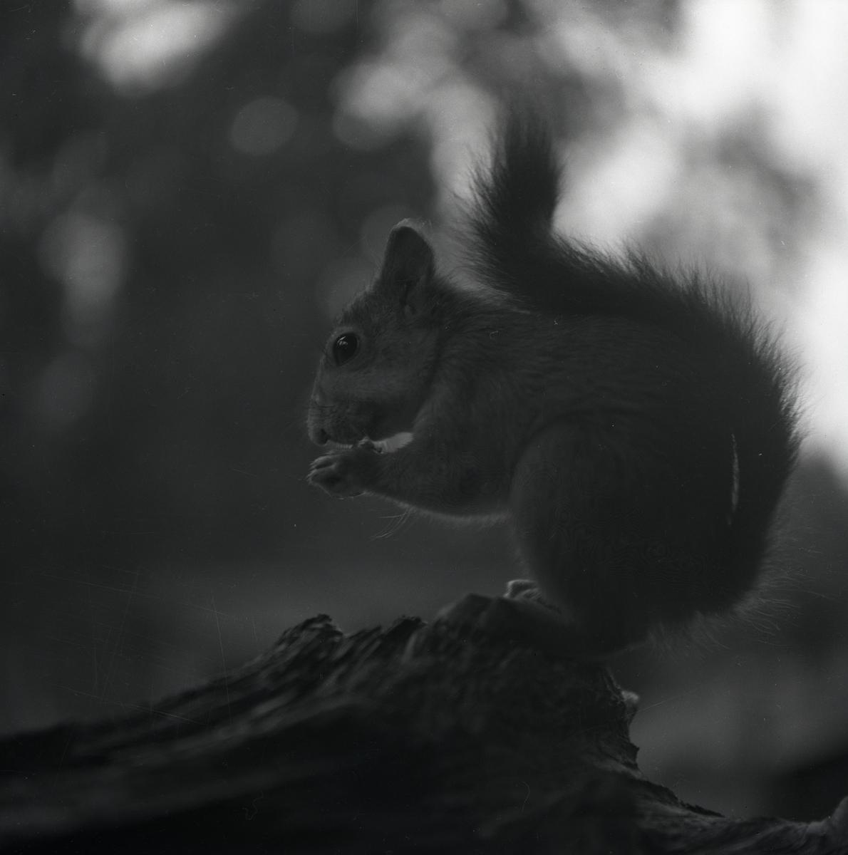 En ekorre sitter på en träbit och äter något, 13 augusti 1952.