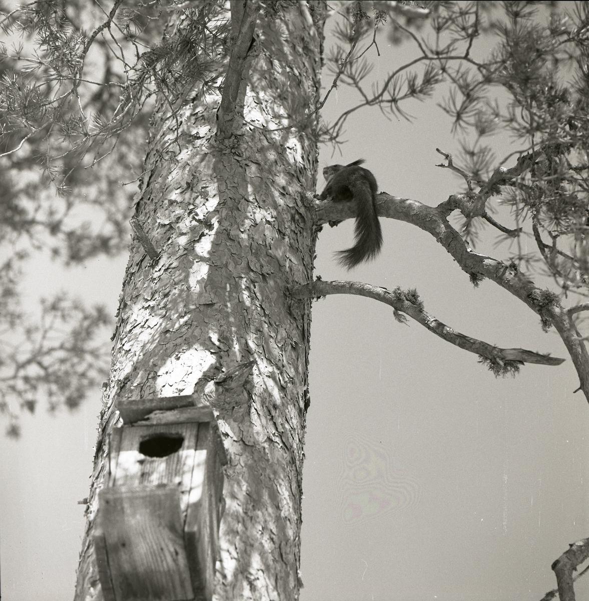 En ekorre sitter på en gren i ett träd och nedanför ekorren är en fågelholk placerad på trädstammen, 1960.