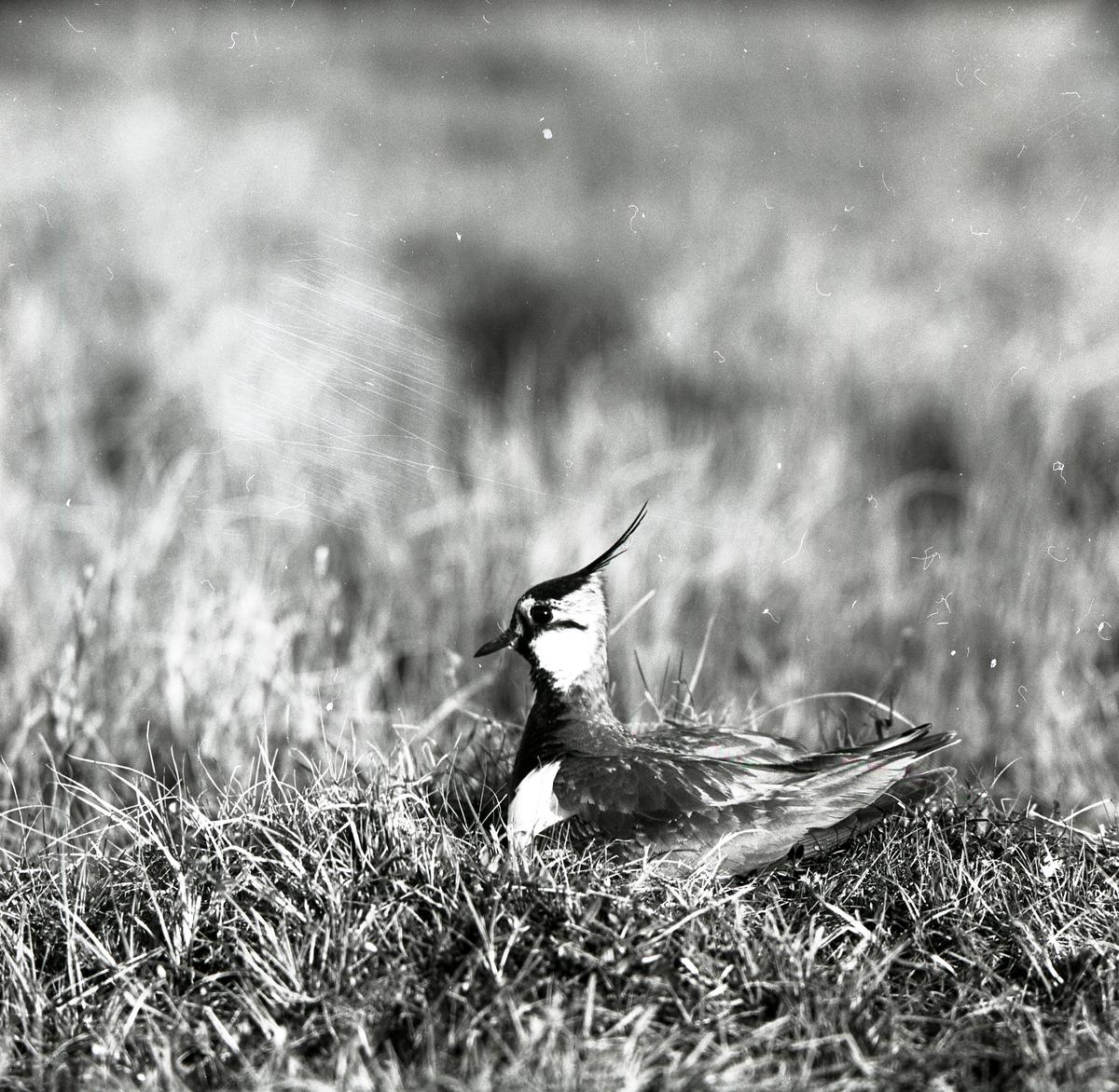 En tofsvipa ligger i gräset, 26 maj 1957.