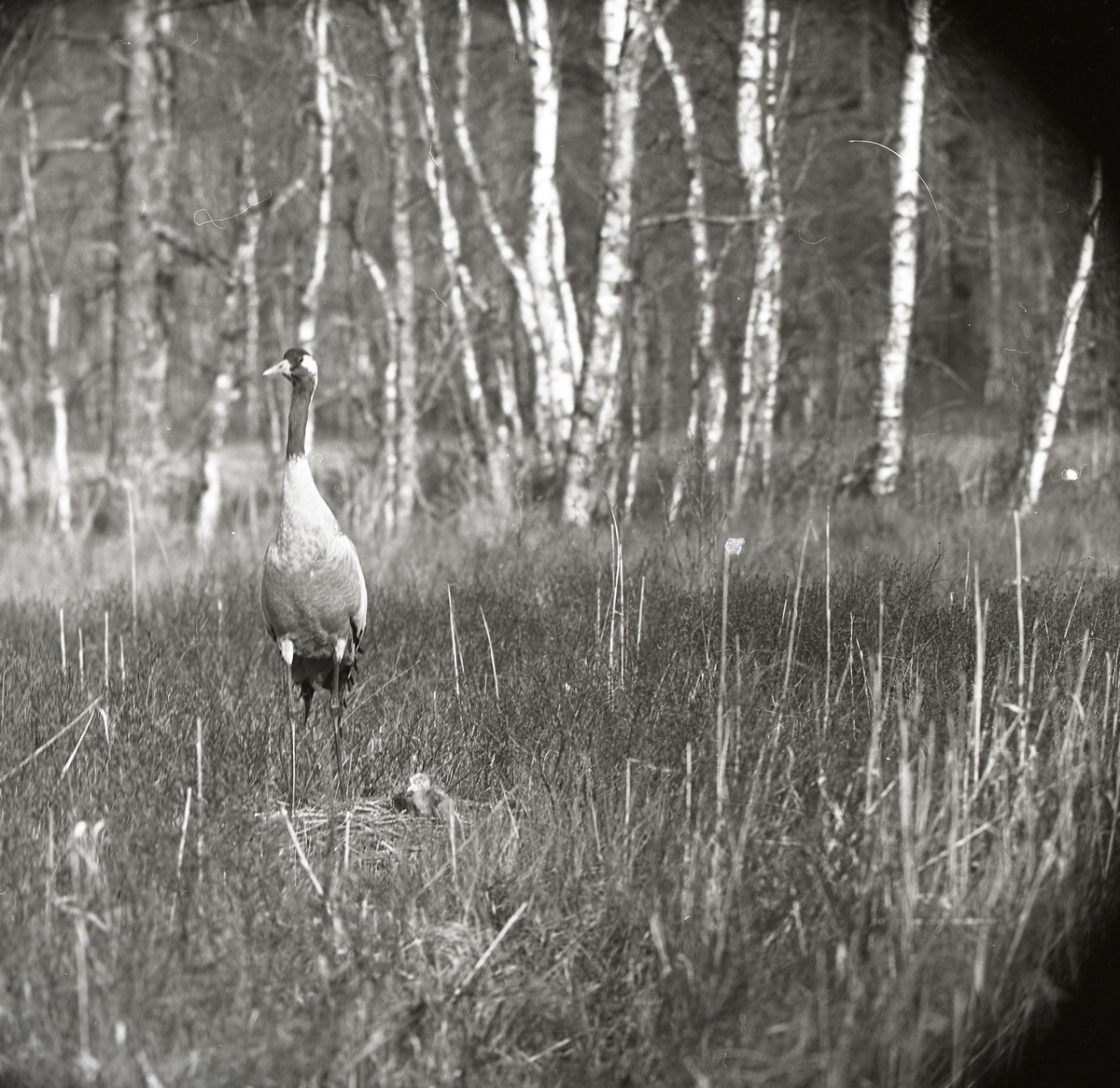 En trana står bredvid sitt bo vari det ligger en tranunge, 24 maj, 1965.