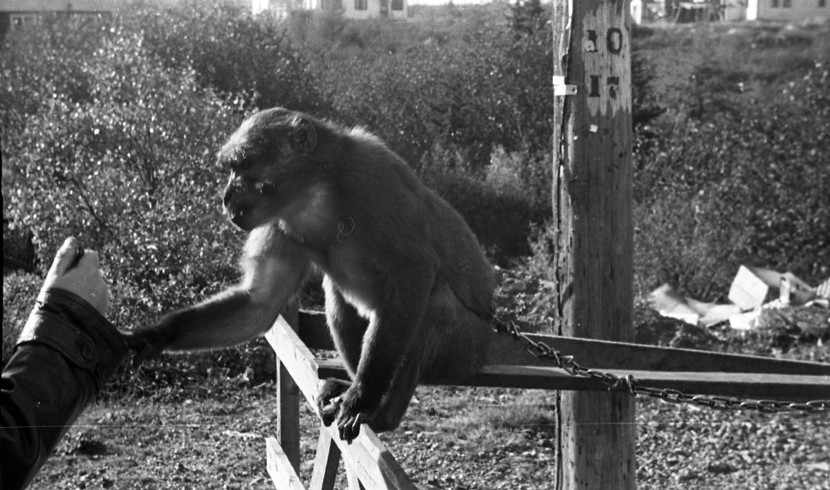 En apekatt. En liten stopp på veien til Chester. Suderøy på vei til fangstfeltet.