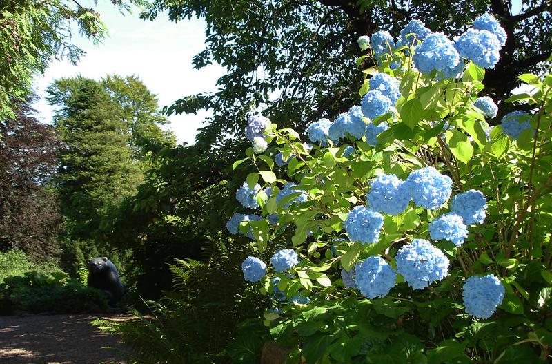 Blå hagehortensia utenfor hovedhuset. Foto: Liv Bjelland