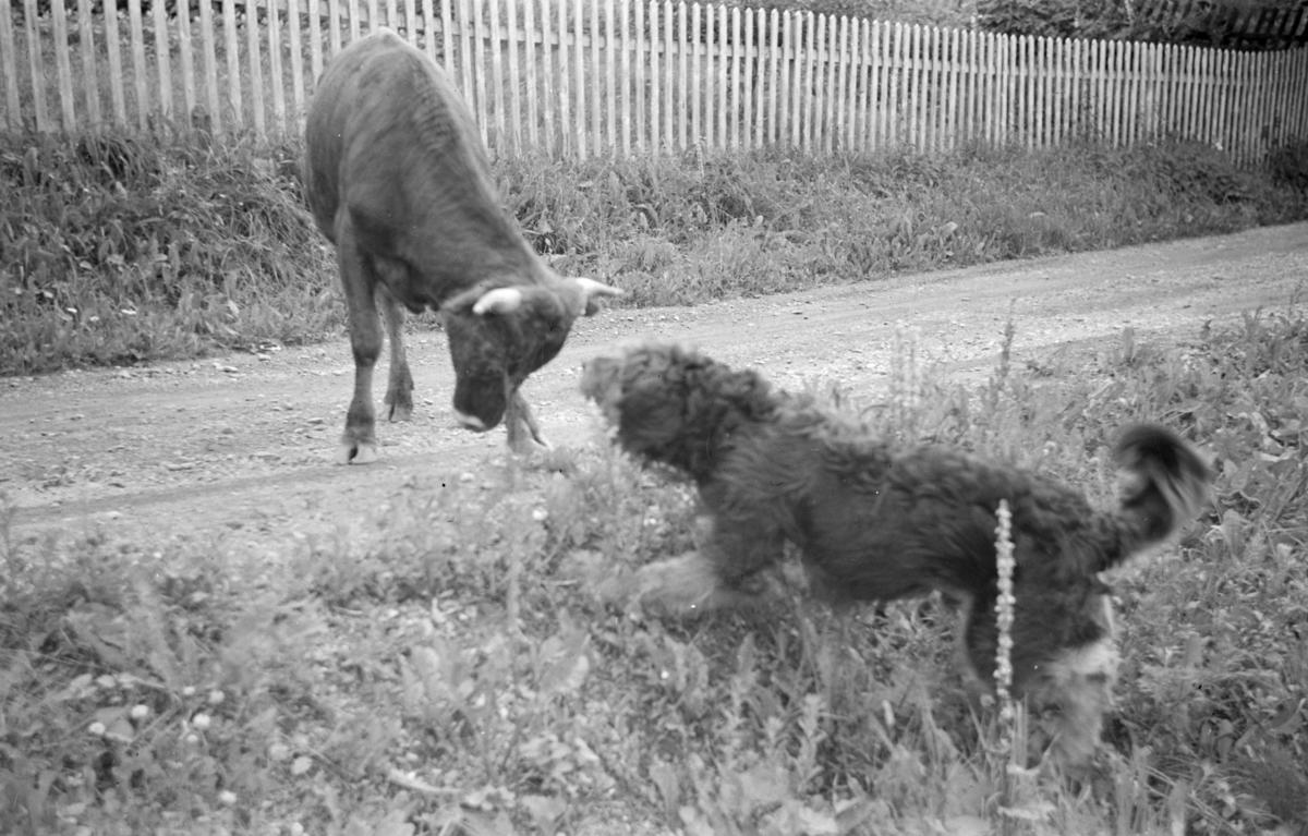 Hund og oksekalv