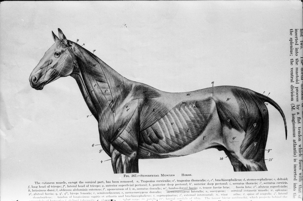 Serie på 41 bilder som viser tegninger av hesters indre og ytre organer og anatomi. Tegningene skriver seg fra ett eller flere eldre magasiner og/eller bøker.